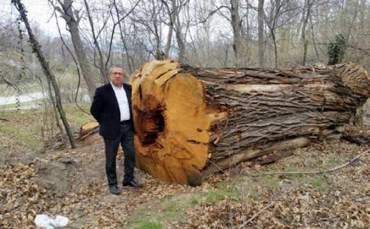 500 Yıllık Kestane Ağaçlarını Kestiler!