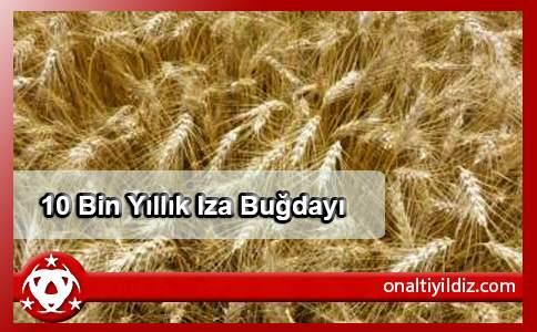 10 Bin Yıllık Iza Buğdayı